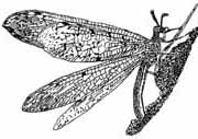 Antlion laying eggs (line drawing)
