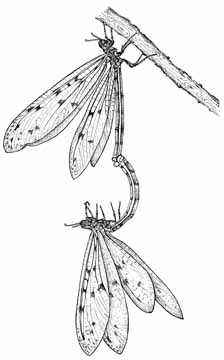 Antlions mating (line drawing)